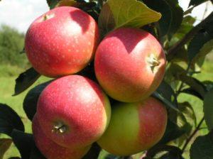 сладкие сорта яблок