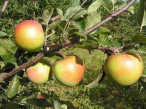 Сладкие сорта яблок.