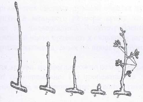 Основы обрезки - строение ветви