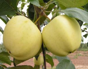 Саженцы плодовых деревьев.