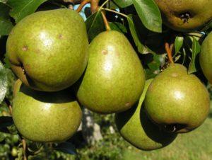 Лучшие сорта груш для белоруссии