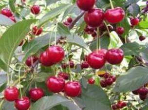 Лучшие сорта вишни